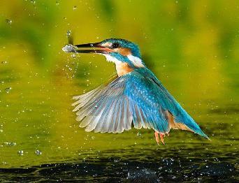 Зимородок под дождем