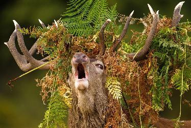 Ревет олень