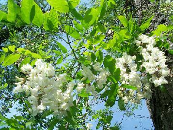 Аромат цветения акации