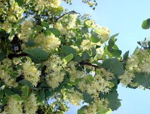 Цветет липа черноземья
