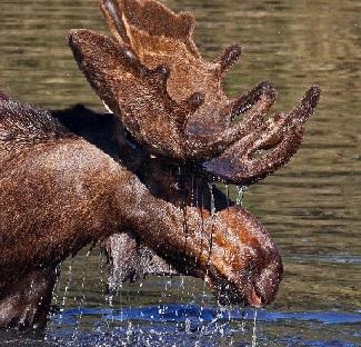 Лосенок в воде