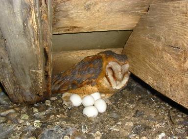 Филин высиживает яйца