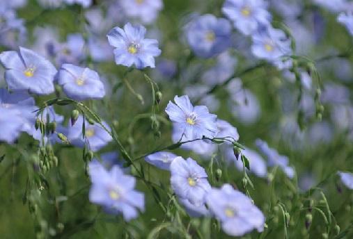 Цветы льна