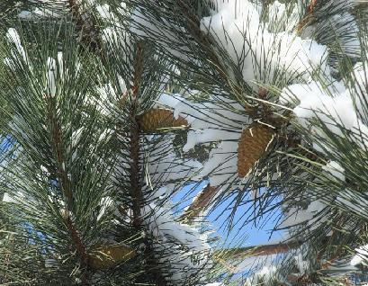 Зимние сосновые шишки