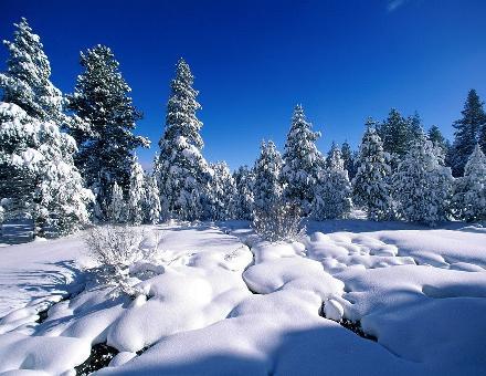 Сосны зимой