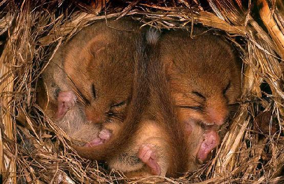 Мыши в гнезде