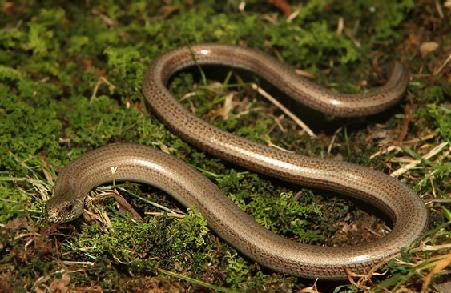 Змея веретеница