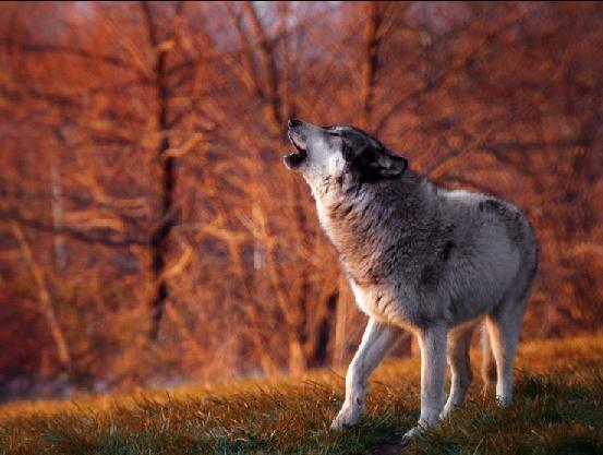 Местный волк