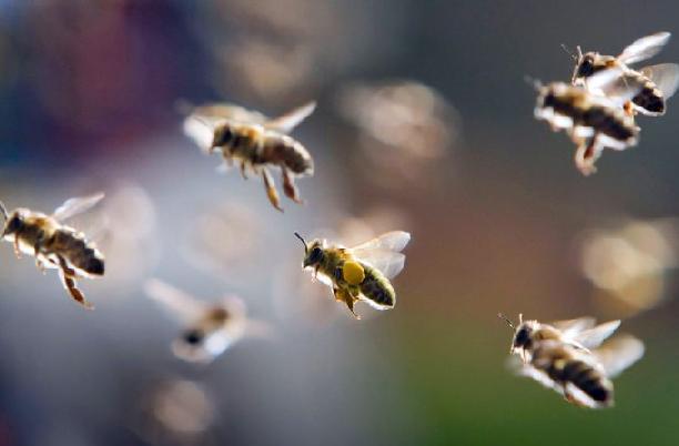 Чувствительность пчел